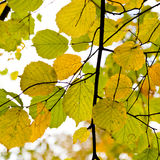 Yellow green autumn leaves close up. Outdoor Stock Photography