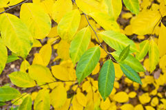 Yellow green autumn leaves Royalty Free Stock Images