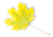 Yellow And Green Autumn Maple Leaf Royalty Free Stock Photography