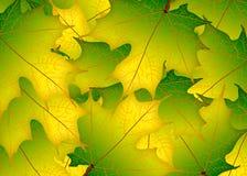 Yellow green autumn maple leaves. Illustration. Autumn leaves ba. Ckground royalty free illustration