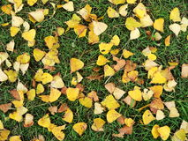 Yellow-green autumn rug. Yellow leaves on grass Stock Images