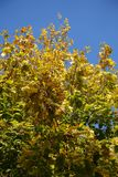 Yellow and green autumnal leafage of maple against blue sky. Yellow and green autumnal leafage of maple against the sky Royalty Free Stock Images