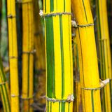 Yellow and green bamboo Stock Images