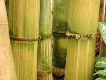 Yellow and green bamboo with roots - landscape Stock Image