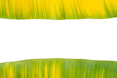 Yellow and green banana leaf. Isolated on white background Royalty Free Stock Images