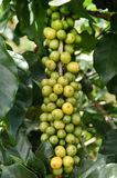 Yellow and green beans coffee on a tree Royalty Free Stock Images