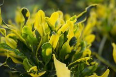 Yellow and Green of Beautiful Leaves. Beautiful plants from a garden that is in maturity stock photos