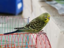 Yellow, green, and black tame budgerigar or parakeet hold on red bird cage. Waiting to be pet in animal weekend market Stock Photos
