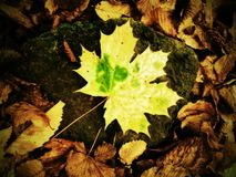Yellow green broken maple leaf on mossy stone.  Park ground with autumn leaves. Royalty Free Stock Photo