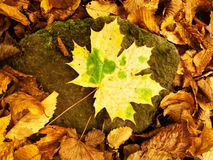 Yellow green broken maple leaf on mossy stone.  Park ground with autumn leaves. Stock Photo