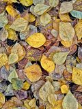 Fallen leaves. Yellow, green, brown, withered and not very autumn leaves underfoot royalty free stock photography