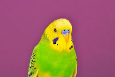 Yellow-green budgerig  parrot close-up Stock Photography