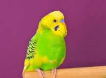 Yellow-green budgerig parrot closeup perched on a stand Stock Image