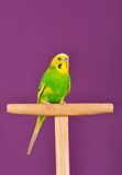 Yellow-green budgerigar parrot perched on a stand Royalty Free Stock Images