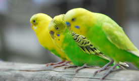 Yellow green budgie parrot pet bird Royalty Free Stock Photo