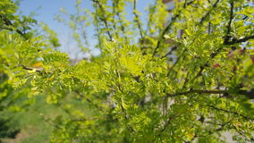 Yellow green bush of a young tree on a bright sunny day in park closeup. This succulent shrub has light green color with yellow flowers along entire length of stock footage