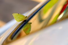 Yellow-green butterfly on the car window royalty free stock images