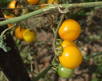 Yellow and Green Cherry Tomatoes Growing on Vine. Organically grown, yellow and green cherry tomatoes hanging on a vine royalty free stock image