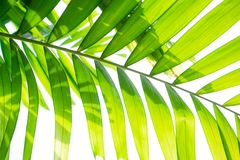 Yellow green color pinnately biology leaf of Macarthurs palm tree on white background, leaves with shading under sunlight. For concept design royalty free stock photos