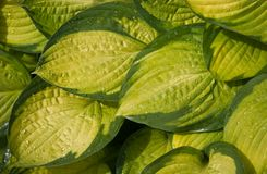 Yellow and green colored leaves Royalty Free Stock Images