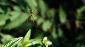Yellow green colored thin spider sitting and waiting on its prey in the middle of its web. Royalty Free Stock Images
