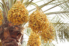 Yellow and green dates in a date palm Royalty Free Stock Photos