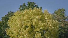 Yellow green deciduous tree with huge treetop. Autumn leaves streaming in wind. stock footage
