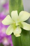Yellow green Dendrobium Orchid close-up Stock Photos