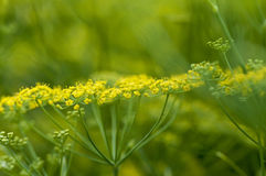 Yellow-green dill Royalty Free Stock Image