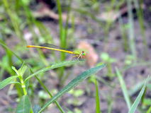 Yellow and green dragonfly Stock Photo