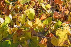 Yellow, Green and Dry Leaves Royalty Free Stock Photos