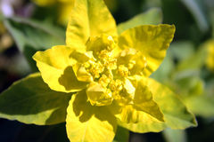 Yellow and green Euphorbia epithymoides royalty free stock photo