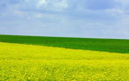 Yellow and green field. Field covered of flowery plants of yellow and green color Stock Images