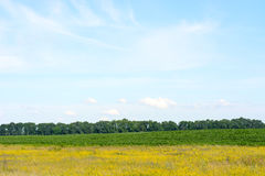Yellow green field against the blue sky. Royalty Free Stock Photos