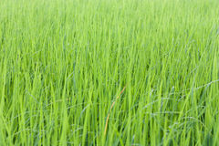 Yellow green field Stock Images