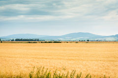 Yellow-green field Royalty Free Stock Images