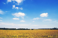 Yellow and Green Field Under Blue Sunny Sky Royalty Free Stock Images