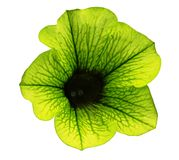 Yellow-green flower Petunia on a white isolated background with clipping path  no shadows. Closeup. For design, texture, borders, Royalty Free Stock Photography