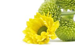 Yellow and green flowers. A beautiful yellow leaf flower in front of green flowers on a white background Royalty Free Stock Photo