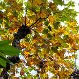 Yellow and green foliage of maple tree in autumn. Yellow and green foliage of maple tree in Florence, in autumn Stock Photos