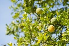 Yellow and green Fruits of Bergamot orange. On tree, Citrus bergamia royalty free stock images