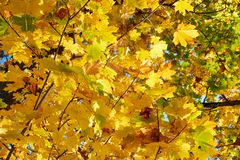 Yellow, green, golden leaves of a maple branch in autumn. In the rays of autumn sun Stock Photography