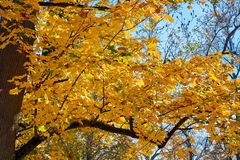 Yellow, green, golden leaves of a maple branch in autumn. In the rays of autumn sun Stock Photo