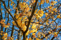 Yellow, green, golden leaves of a maple branch in autumn. In the rays of autumn sun Royalty Free Stock Image