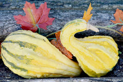 Yellow and Green Gourds. Yellow and green crookneck gourds by some fall leaves and tree stump in the fall Stock Photo