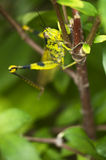 Yellow Green Grasshopper. Macro of an Obscure Bird Grasshopper on a plant's stem Royalty Free Stock Image