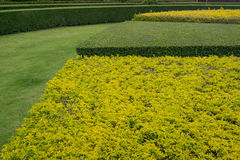 Yellow and green hedges. Yellow and green curved hedges in the garden Stock Photos