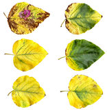 Yellow and green huge poplar leaves fresh with streaks Stock Image
