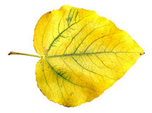 Yellow and green huge poplar leaves photo manipulation Stock Photo