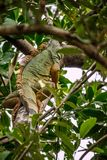 A Yellow Green Iguana in Sanibel Island, Florida. A herbivorous lizards camouflaging on top of a tree in Ding Darling National Wildlife Refuge royalty free stock photos